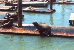 San_Francisco_Pier_e_Leoni_marini