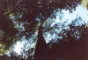 San_Francisco_Sequoia_Wood